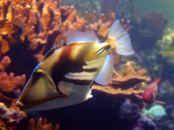 Hawaii state fish hawaii feeling for Hawaiian state fish