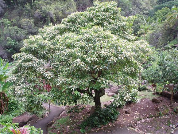 kukui tree